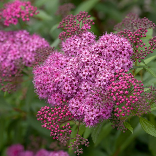 SPIREA bum. ´Anthony Waterer´
