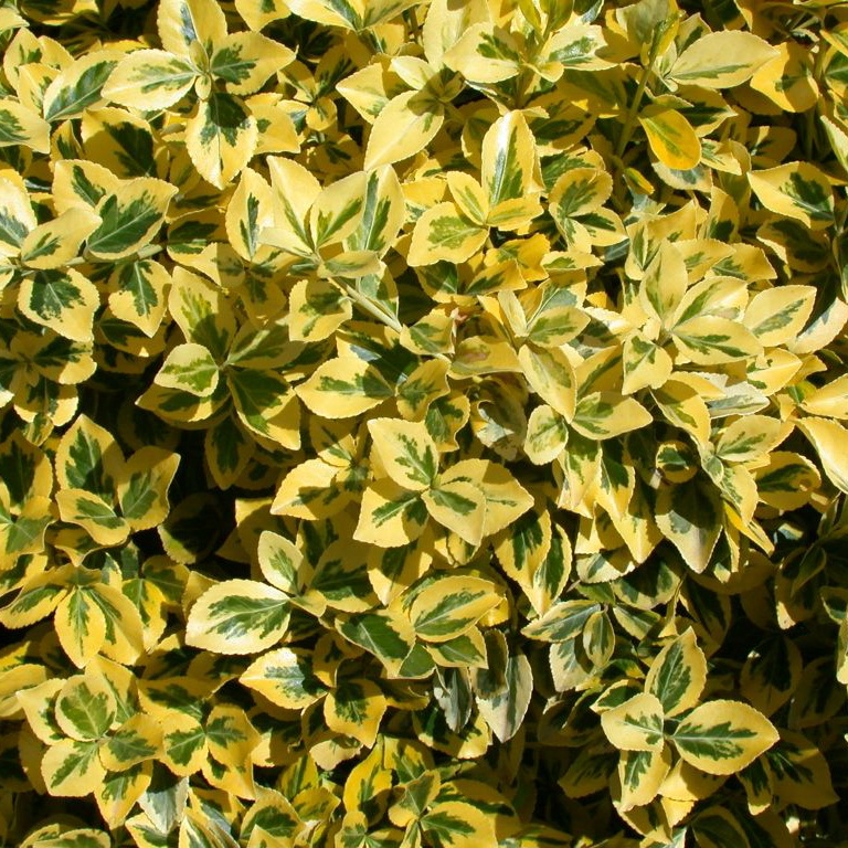 EUONYMUS fort.´Emerald Gold´