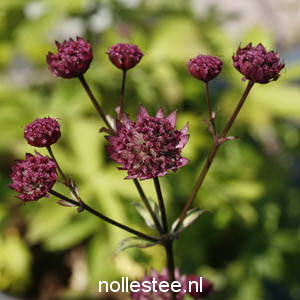 ASTRANTIA major ´Rubra´