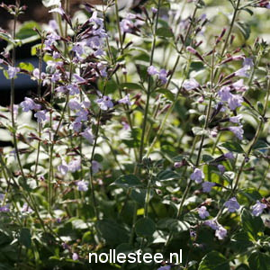 CALAMINTHA nepeta ´Blue Cloud´
