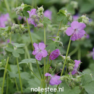 GERANIUM cantabrigiense ´Cambridge´