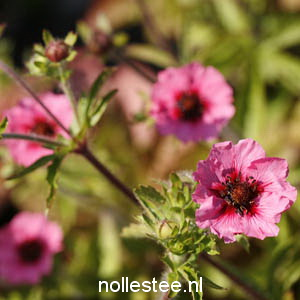 POTENTILLA nepalensis ´Miss Willmott´
